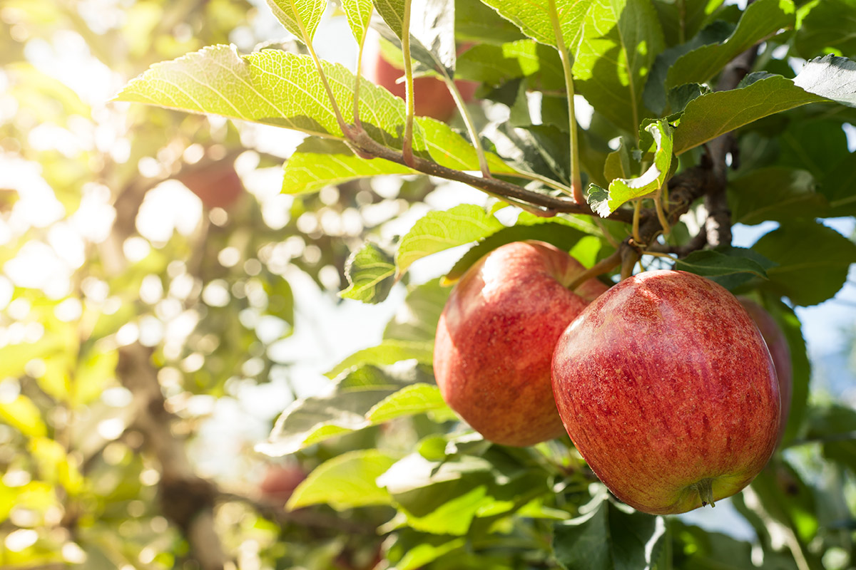 Every new home should have access to a fruit tree, says Building Beautiful commission